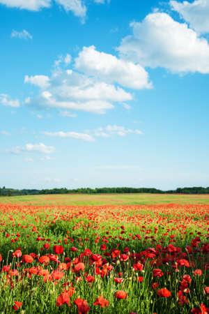 prairie avec de belles fleurs de pavot rouge vif au printemps