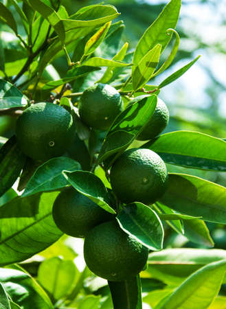 clementines: Green oranges hanging on a fruit tree branch