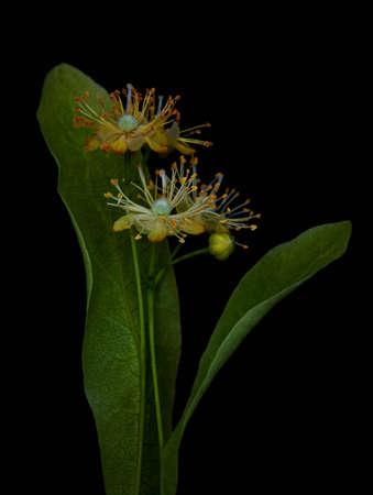 tilo: Las flores de tila en un negro Foto de archivo
