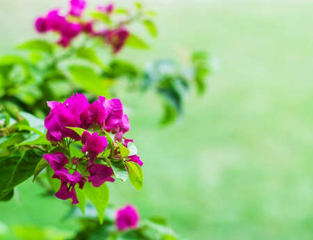 textured wall: Pink bougainvillea flowers on a green natural background