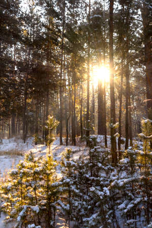 Sunlight in the wood between the trees strains in winter period. Sun rays in winter forest. Frosty winter landscape in snowy forest Stock Photo