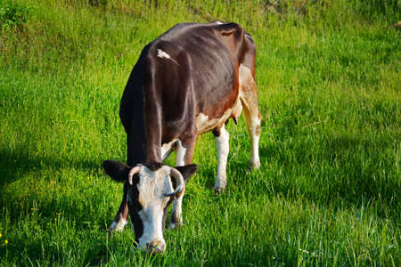 cud: Cow eating grass in a field