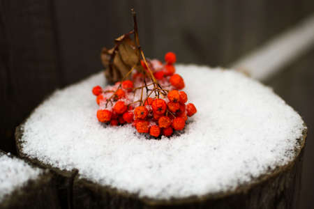 A red rowan-berry branch lies on the brown stump and first snow