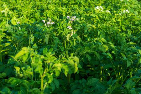 Flowering green field, growing plants, tuberous crop, organic potatoes, green serrate leaf details
