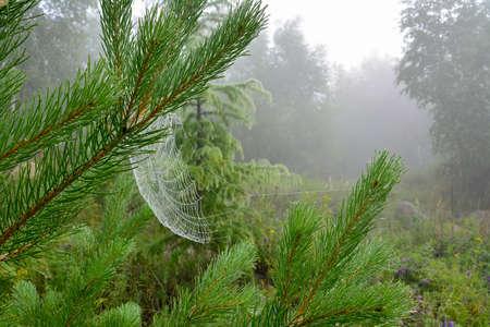 Dennennaalden en een web bedekt met rijp
