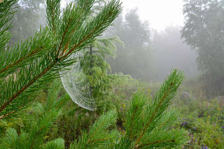 Pine needles and a web covered with hoarfrost