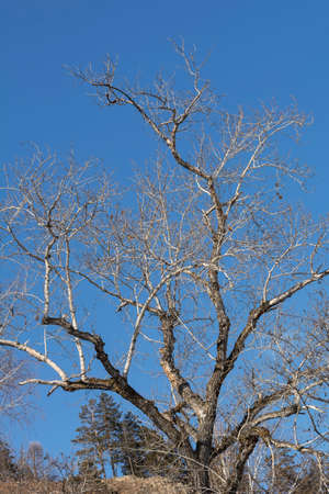 Background: Bare tree under blue sky. Bare tree branches with clear sky