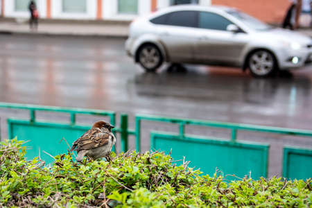 A Sparrow is sitting on a clipped Bush. In the background, a road and a car in motion. The urban background. The concept of coexistence of nature and man. Standard-Bild
