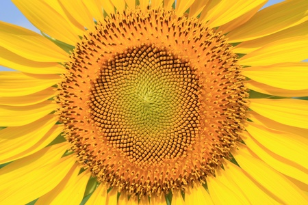 Beautiful sunflower closeup