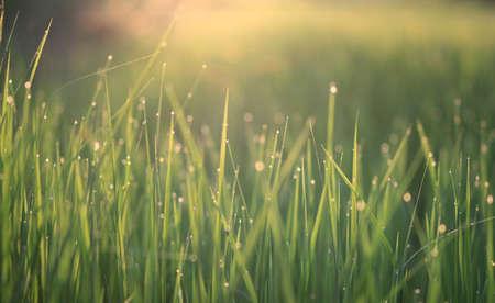 breezy: Rice fields