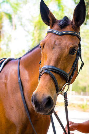 nostril: Thoroughbred horse portrait Stock Photo