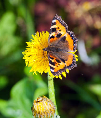 The butterfly collecting pollen on a flower