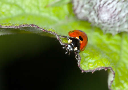The ladybird on a leaflet searches Aphid