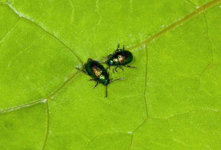 Two glowworms in the afternoon on a green leaflet