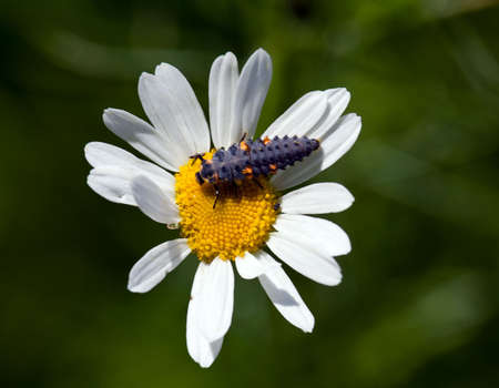 The ladybird larva sits on a camomile Stock Photo