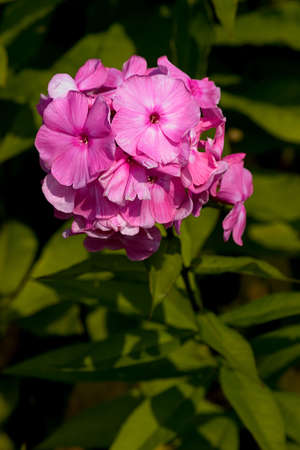 Magenta flower Stock Photo