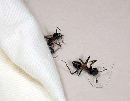 Two dead ants
