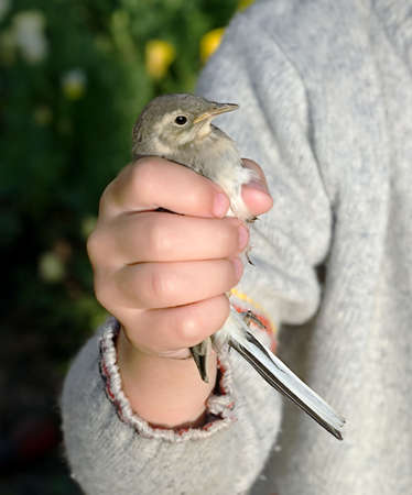 Small wagtail in hands of the child