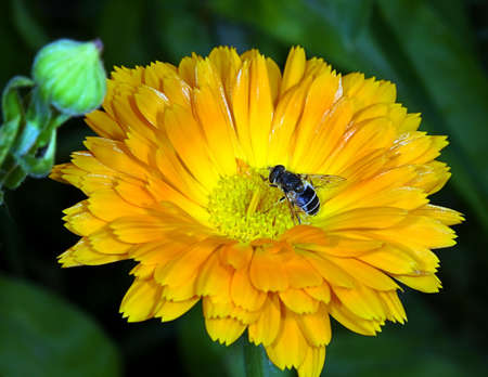 The Bee collecting pollen on a flower