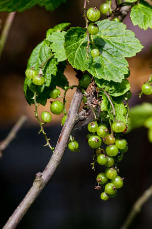 Green currant on a bush in the summer Stock Photo