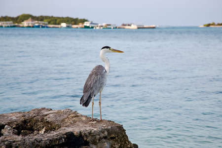 Grey heron on coast of ocean