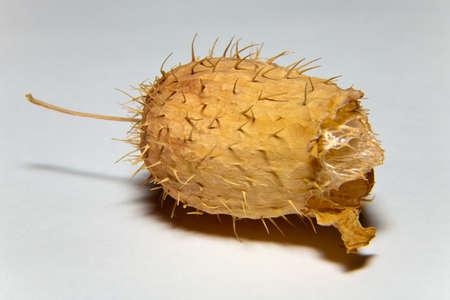 Dry fruit Ecballium elaterium without seeds in the late autumn Stock Photo