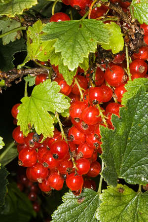 Red currant Stock Photo - 5597198