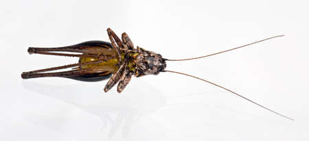 The big locust isolated in White Background Stock Photo - 17162374