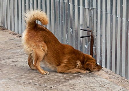 happening: The dog looks up under the fence on whats happening on the street Stock Photo