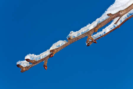 Ice and snow on on a branch after a sleet in Moscow suburbs