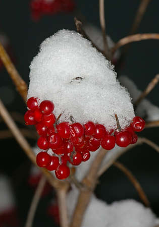 Red berries Kalina under the snow in the winter