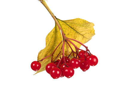 guelderrose: Red berries of a guelder-rose with sun on sky