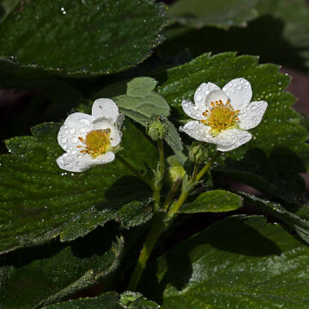 White flower Fraga in the garden around Moscow.