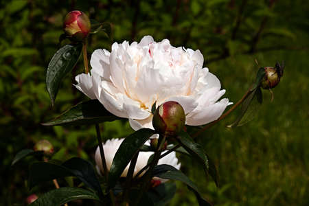 White peony flower in the garden around Moscow.