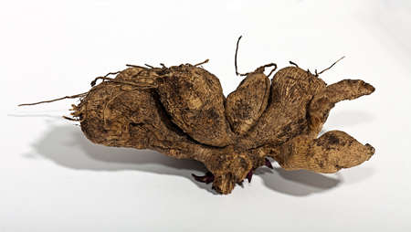 The roots of dahlias dried in the autumn to store Stock Photo