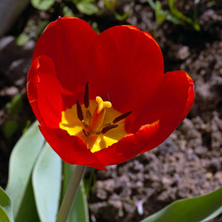 Red Tulip flower in the garden around Moscow. Stock Photo
