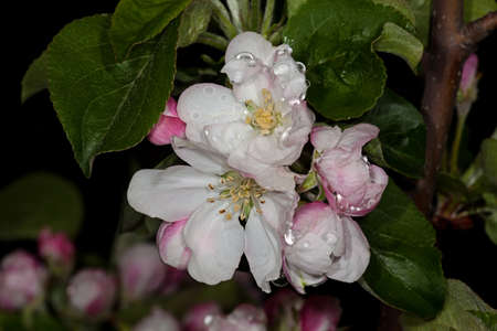 White flower Apple-tree Malus in the garden around Moscow.