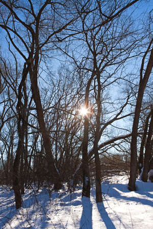 Winter sun in the branches of forest trees