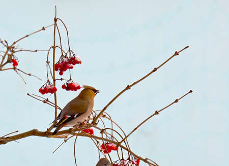 Bird waxwing, a winter migrant sits in a tree full of berries. Stock Photo