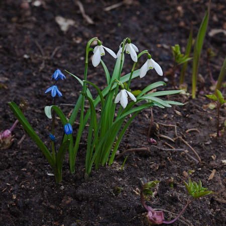 The sprouts of snowdrop in the spring Stock Photo