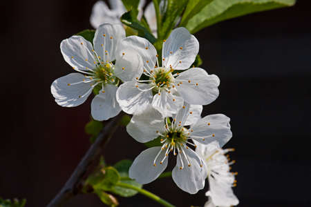 White flower Apple-tree Malus in the garden around Moscow.