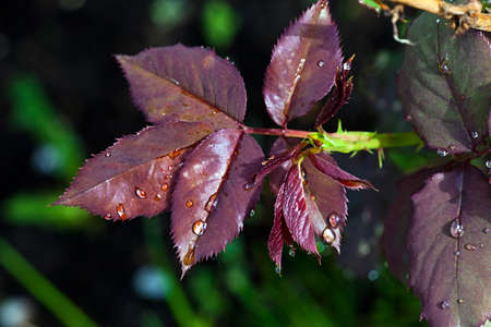 Water drops on red leaves after a rain..