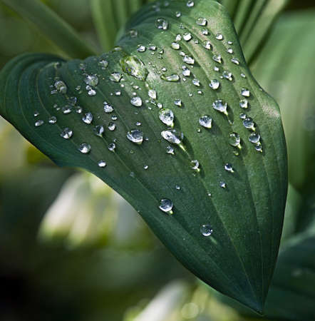 Water drops on green leaves after a rain..
