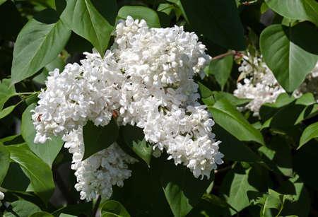 White flower Syringa in the garden around Moscow.