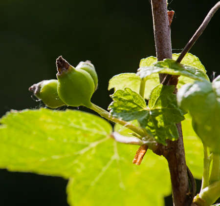 Green Gooseberry on a bush in the summer at the garden