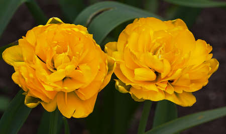 Yellow Tulip flower in the garden around Moscow.
