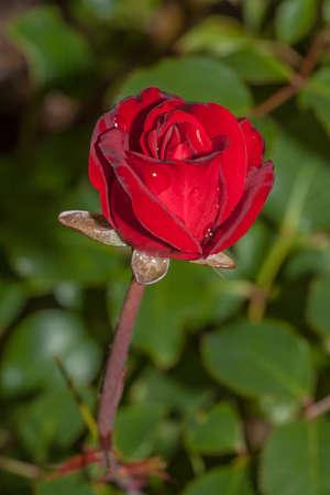 Red flower in the garden around Moscow.
