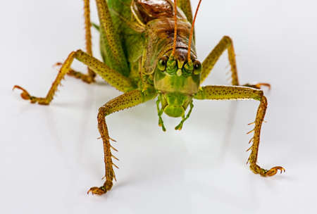 The green grasshopperon on white Stock Photo