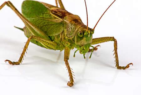 The green grasshopperon on white Stock Photo