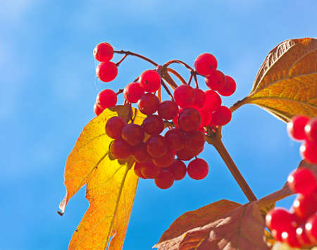 Red berries of a guelder-rose with waters drops after the rain